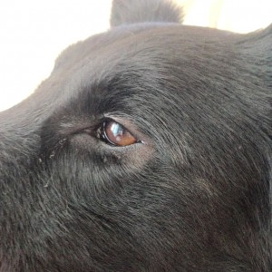 urticaria en perros2